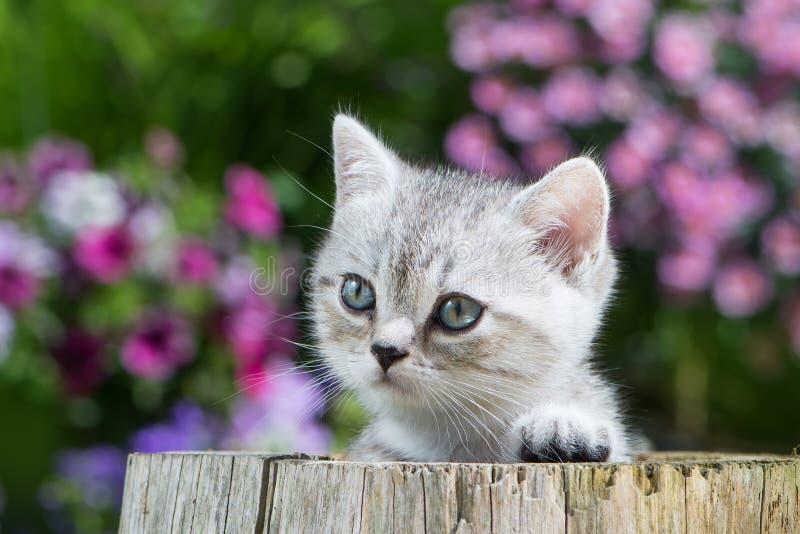 Brisith shorthairkattunge på en trädstubbe arkivfoton
