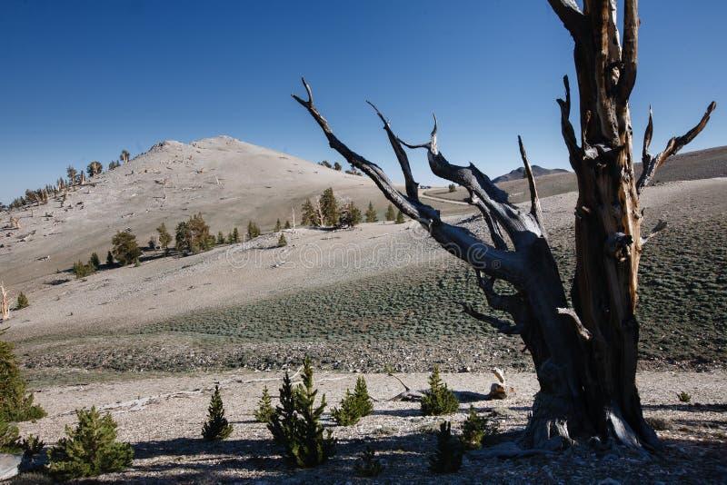 Bristlecone杉木在族长树丛里 免版税库存照片