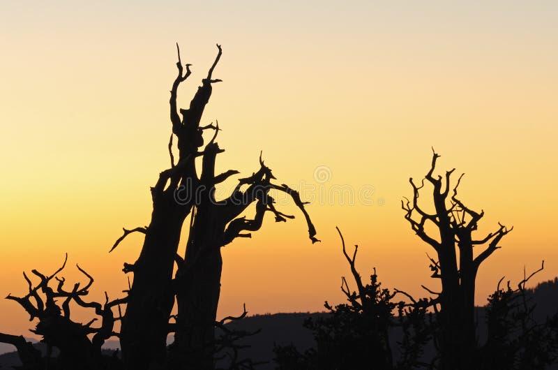 Bristlecone Kiefern stockbild