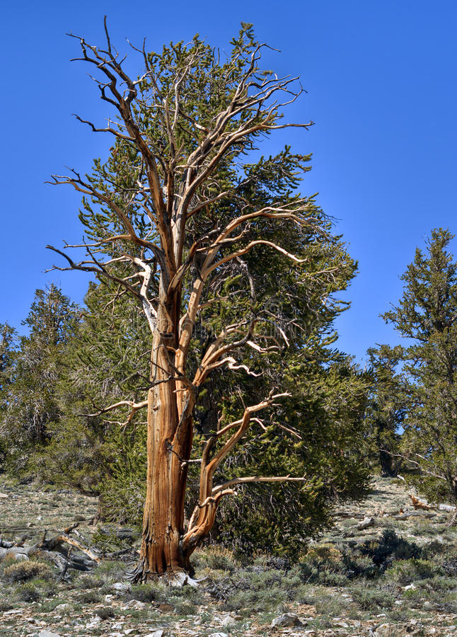 Download Bristlecone Pine Tree, California Stock Photo - Image: 14855954