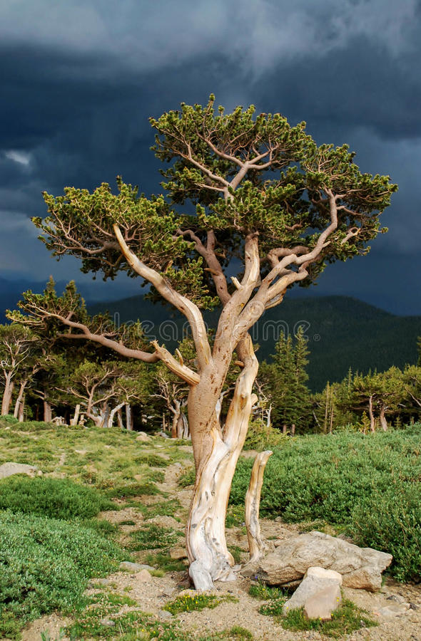 Bristlecone Pine royalty free stock photo
