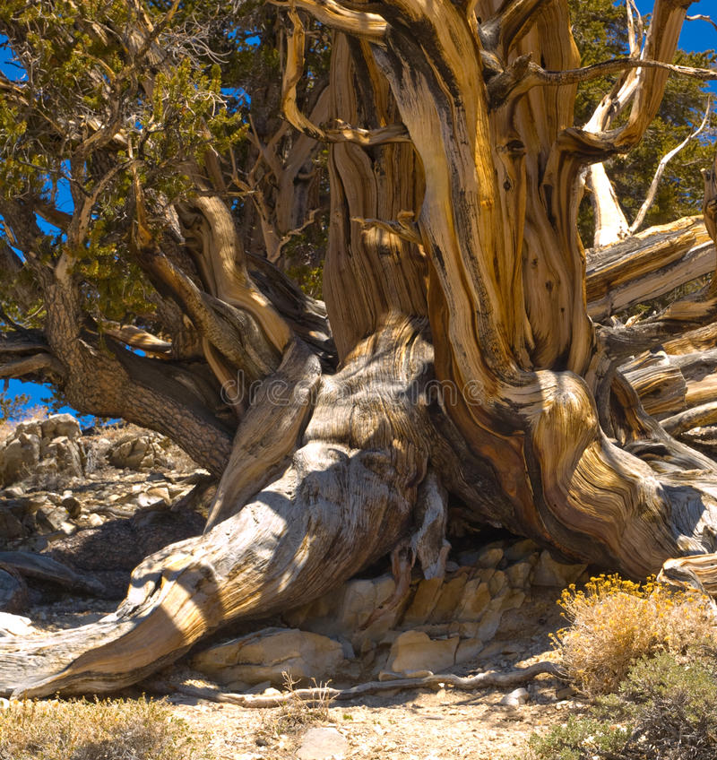 Bristlecone Pine Trunk. Ancient bristle-cone pine tree trucks become a tangle after a thousand winters stock images