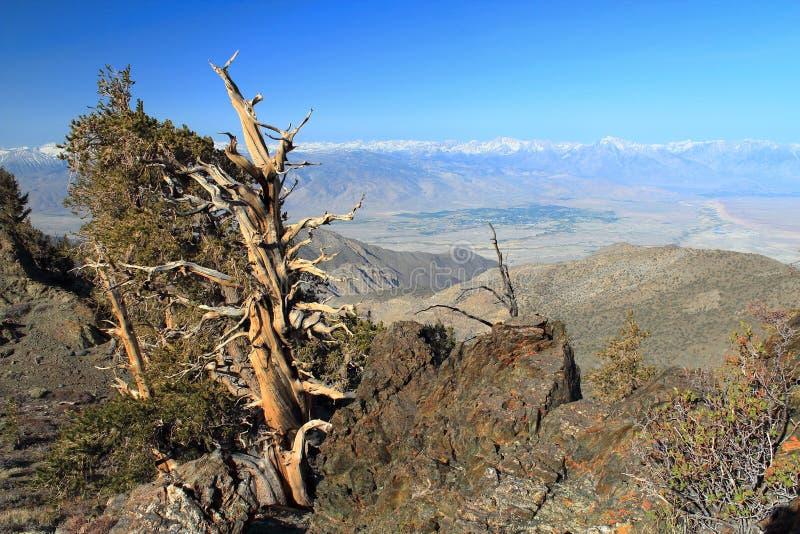 Bristlecone sosna nad Owens dolina od Białych gór, Kalifornia zdjęcia royalty free