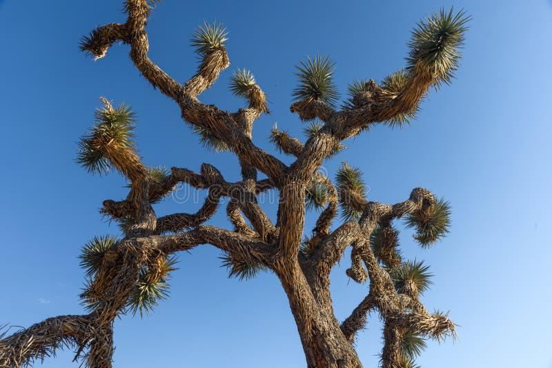 Bristley filialer och convoluted filialer av träd i Joshua Tree National Park, Kalifornien royaltyfria bilder