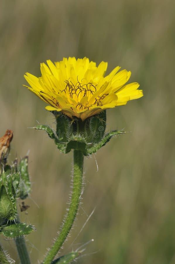 Bristly Oxtongue - Picris echioides lizenzfreie stockbilder