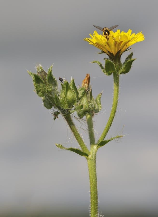 Bristly Oxtongue - Picris echioides stockbild