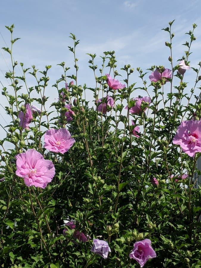 Bristning av rosen av Sharon blommor royaltyfri bild