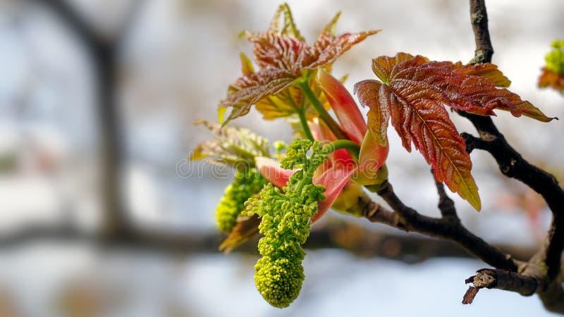Bristningar för en sykomor-, Acer pseudoplatanus in i bladet och blomma under våren arkivbild