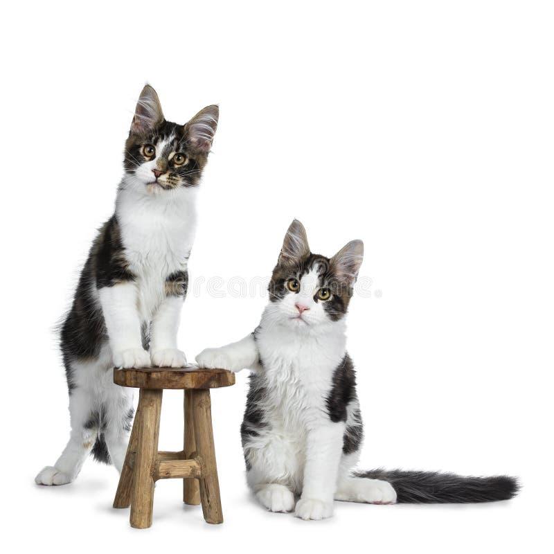 Briststrimmig katt med vita Maine Coon kattkattungar som isoleras på vit bakgrund royaltyfri foto