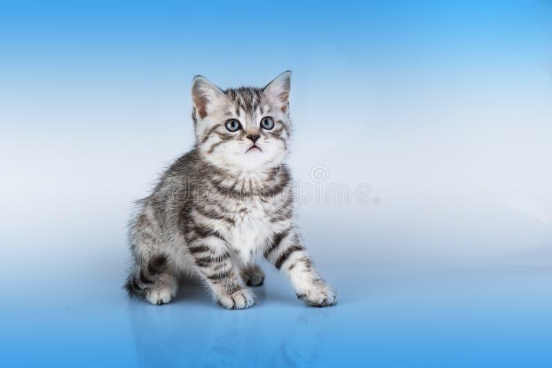 Britain S Little Kitten Royalty Free Stock Image