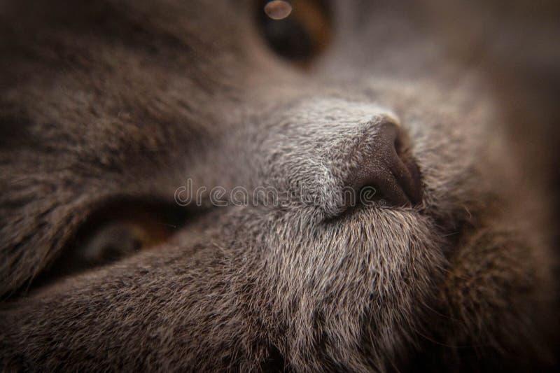 Britannici hanno piegato il gatto fotografie stock libere da diritti