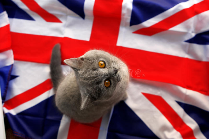 Britisch Kurzhaar stockfoto