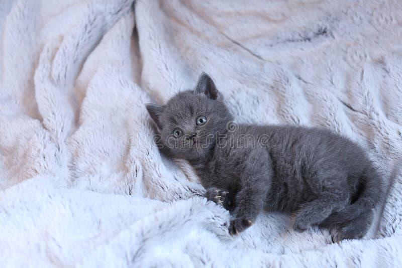Britisch Kurzhaar-Baby, das auf einer Decke liegt lizenzfreie stockfotos