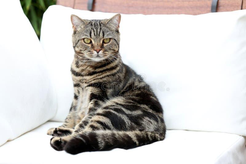 Britisch Kurzhaar-getigerte Katze, die auf einer Couch liegt stockbilder