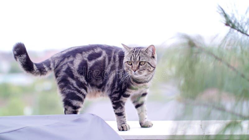 Getigerte Yard Das In Geht Britisch Kurzhaar KatzeDie PkTZwXOiu