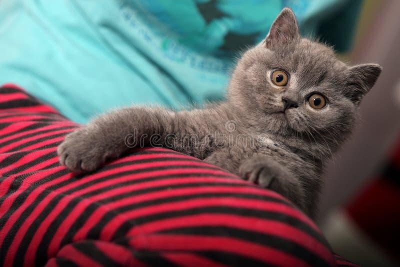 Britisch Kurzhaar-Kätzchen stockbilder