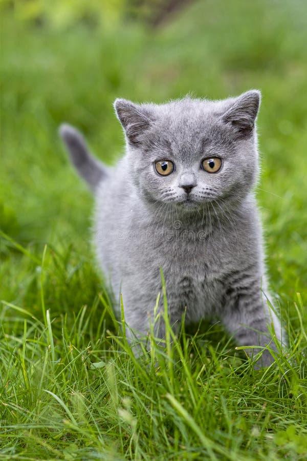 Britisch Kurzhaar-Kätzchen auf einem Weg im Garten, gehend auf das Gras und sorgfältig schauen lizenzfreie stockfotos