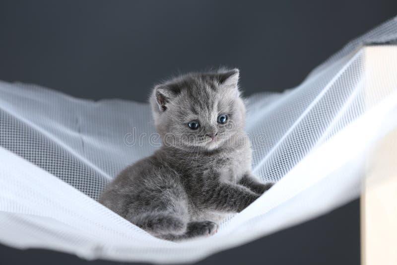 Britisch Kurzhaar-Kätzchen auf einem weißen Netz, nettes Porträt stockbild