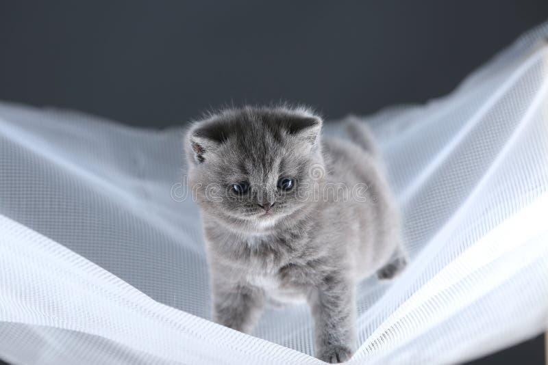 Britisch Kurzhaar-Kätzchen auf einem weißen Netz, nettes Porträt lizenzfreie stockbilder