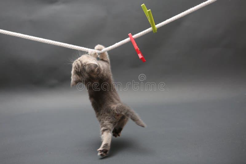 Britisch Kurzhaar-Kätzchen auf einer Stofflinie lizenzfreies stockbild