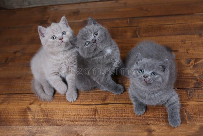 Britisch Kurzhaar-Kätzchen, die oben, Porträt schauen stockbild