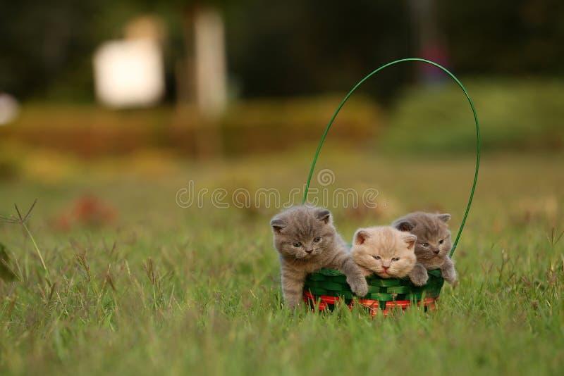 Britisch Kurzhaar-Kätzchen in einem Korb im Gras, Porträt stockbilder