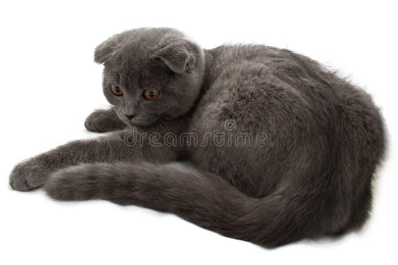Britisch Kurzhaar-Katze lizenzfreies stockfoto