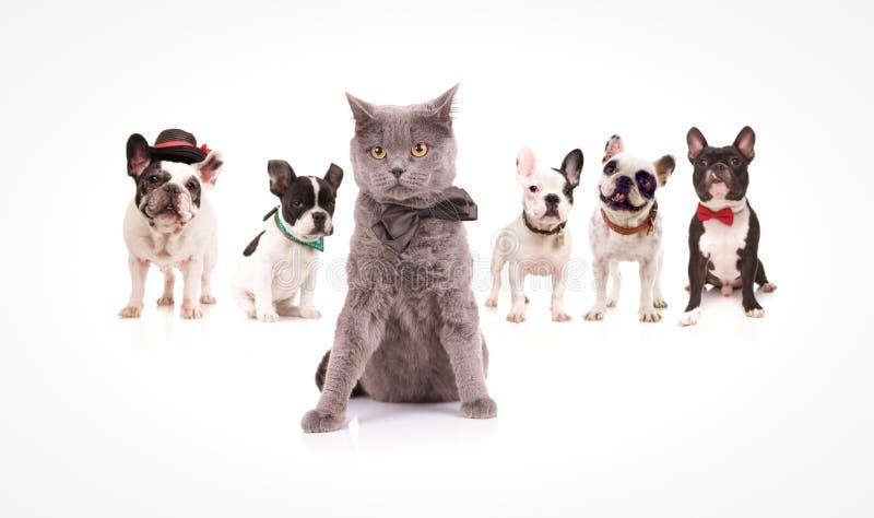 Britisch Kurzhaar-Katze, die eine Gruppe französische Bulldoggen führt lizenzfreie stockfotografie