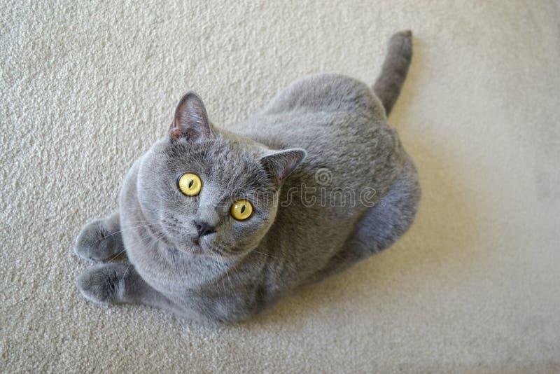 Britisch Kurzhaar-Katze mit blauem grauem Pelz lizenzfreies stockfoto
