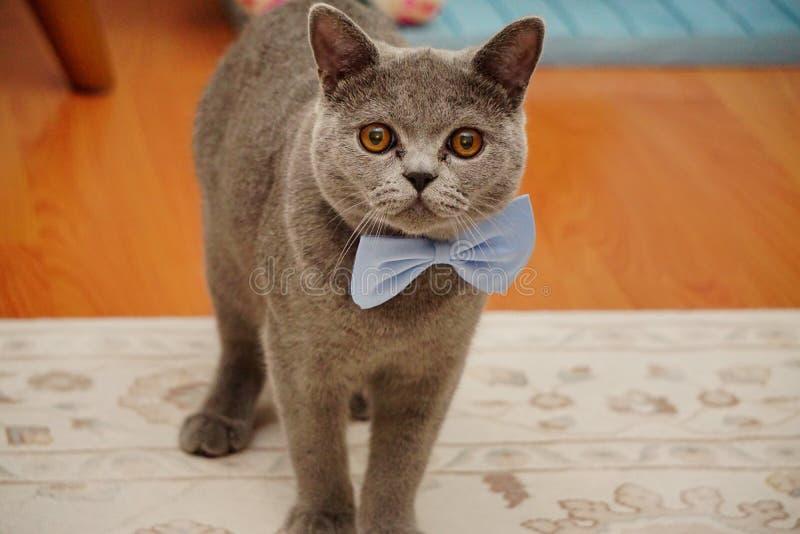 Britisch Kurzhaar-Katze mit grauen Pelz- und bernsteinfarbigenaugen mit bowtie und Schutzbrillen stockbilder