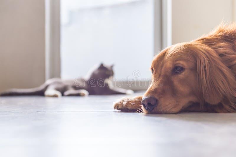 Britisch Kurzhaar-Katzen und golden retriever stockbilder