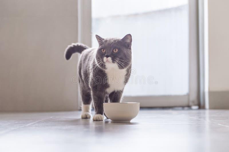 Britisch Kurzhaar-Katzenessen stockbilder