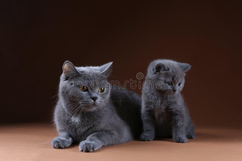 Britisch Kurzhaar-Mutterkatze, die nahe ihrem Kätzchen, lokalisiertes Porträt sitzt lizenzfreie stockfotografie