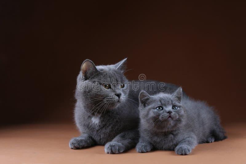 Britisch Kurzhaar-Mutterkatze, die nahe ihrem Kätzchen, lokalisiertes Porträt sitzt stockfoto