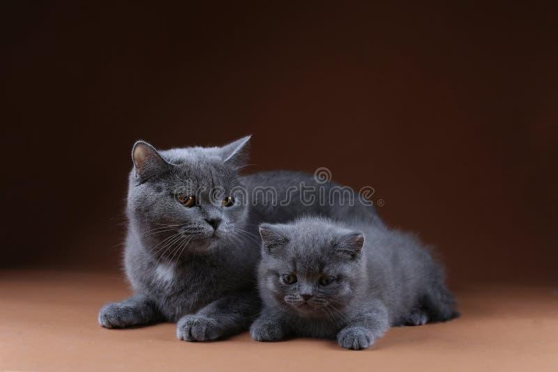 Britisch Kurzhaar-Mutterkatze, die nahe ihrem Kätzchen, lokalisiertes Porträt sitzt lizenzfreie stockbilder