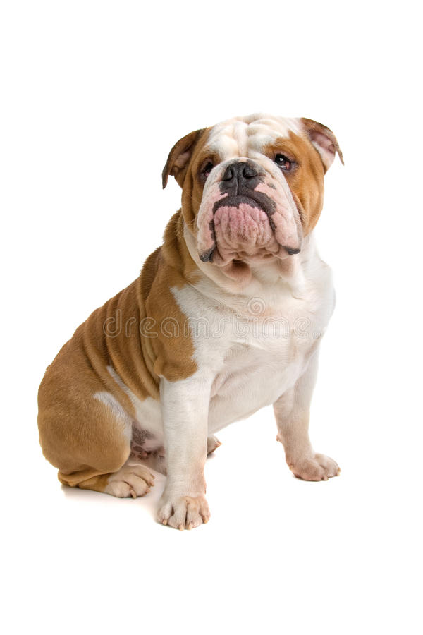 Britische Bulldogge stockbild
