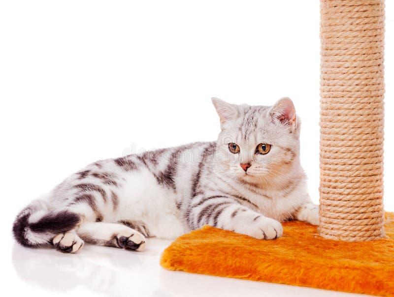 Britische graue Katze lizenzfreie stockfotos
