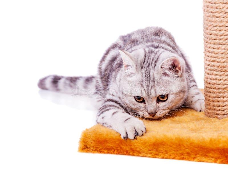 Britische graue Katze stockbild