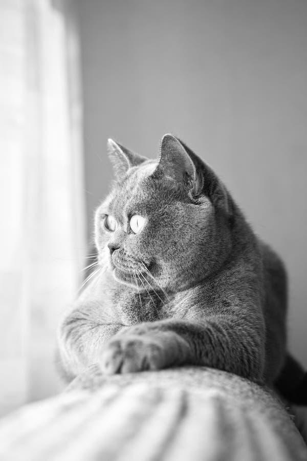 Britische graue Katze, die im Fenster liegt lizenzfreie stockfotos