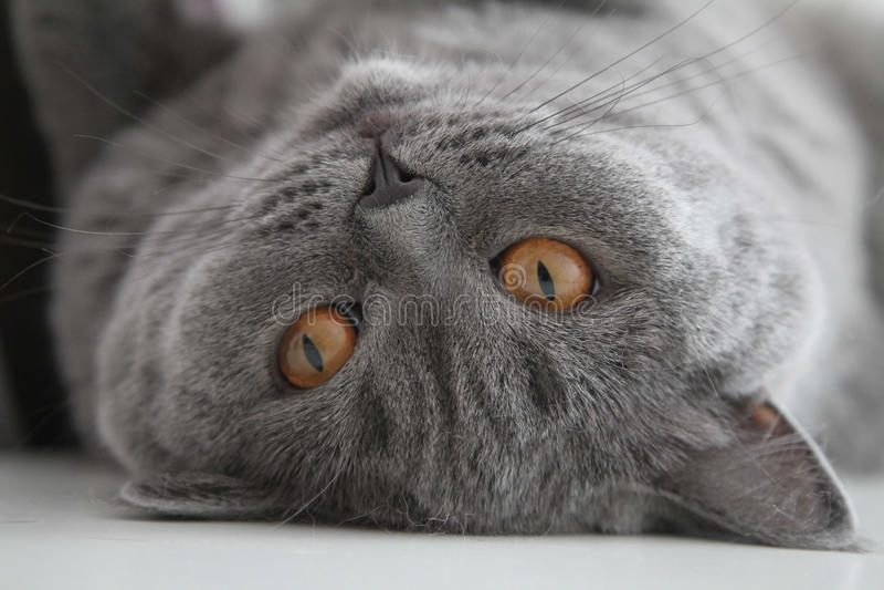 Britische Haustierkatze stockbilder