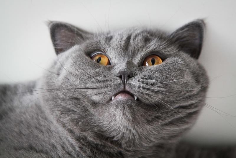Britische Haustierkatze stockbild
