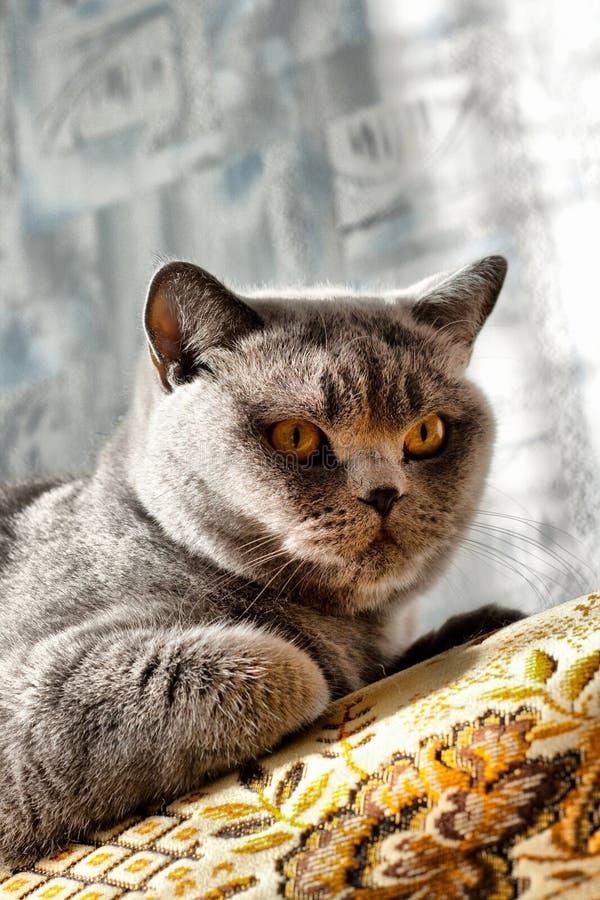 Britische Katze lizenzfreies stockbild