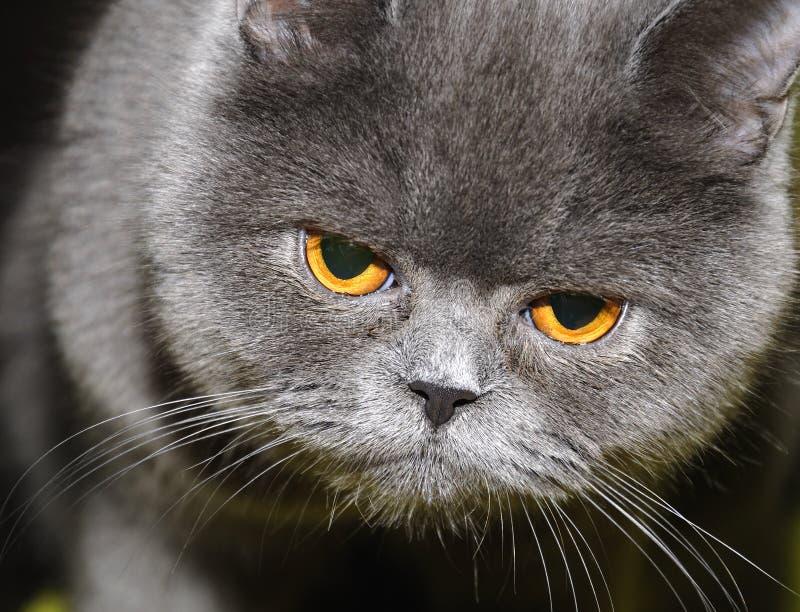 Britische Katze. lizenzfreies stockbild