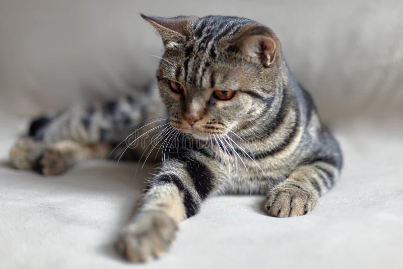 Britische Katze des kurzen Haares mit hellen gelben Augen lais auf der lehnenden Tatze des beige Sofas in Richtung zum Zuschauer stockfotografie