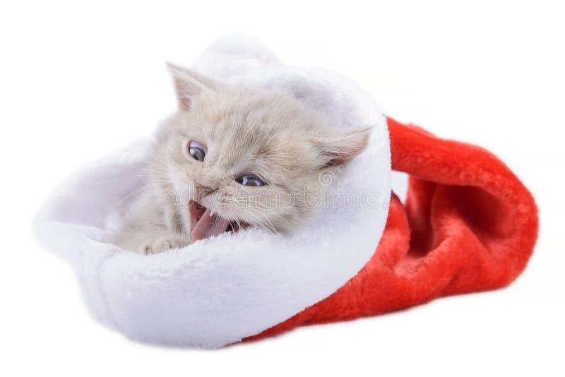 Britische Katze in einem roten Santa& x27; s-Kappe auf weißem Hintergrund lizenzfreie stockfotografie