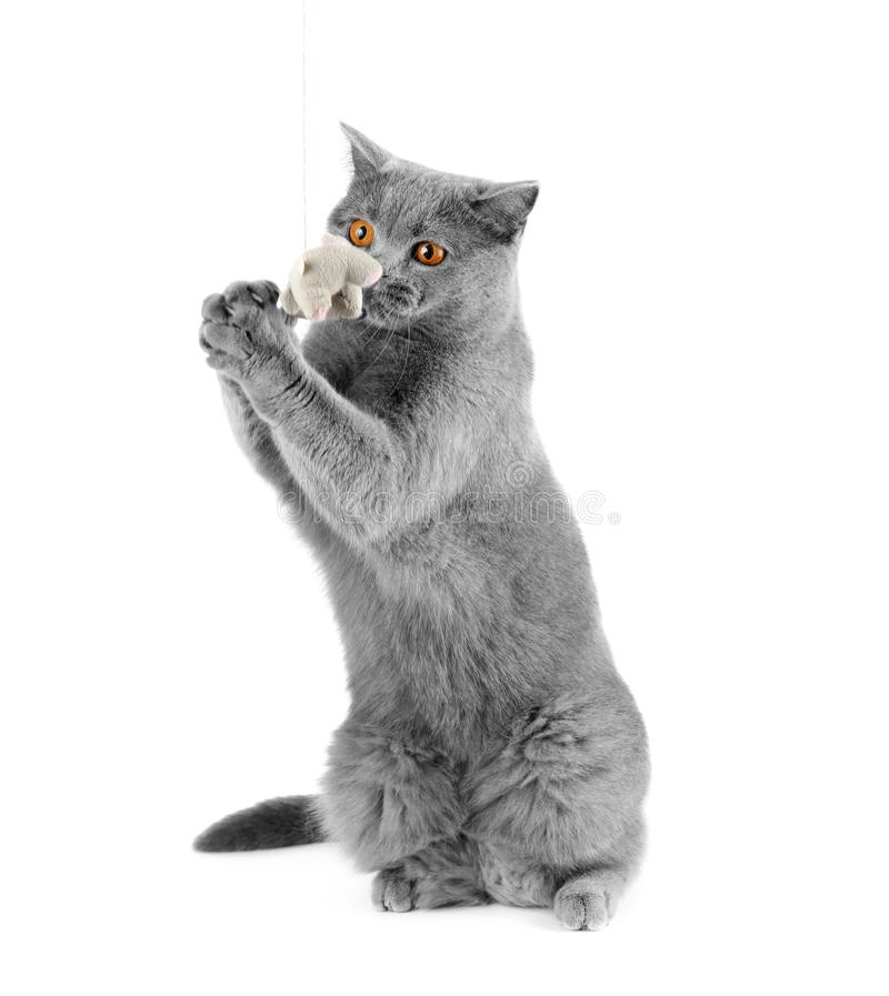 Britische Katze fängt eine Spielzeugmaus lizenzfreie stockfotografie