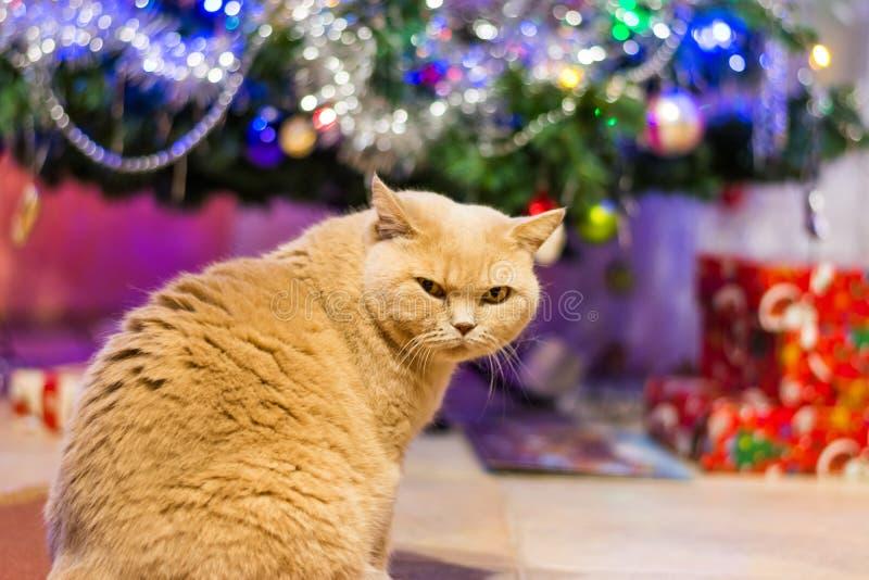 Britische Katze mit strengem rigorosem Gesichtsblick nahe dem Weihnachtsbaum und den Geschenken lizenzfreies stockbild