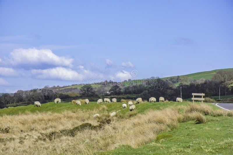 Britische Landschaft im Frühjahr, Lämmer nähern sich Landstraße, Großbritannien lizenzfreies stockbild