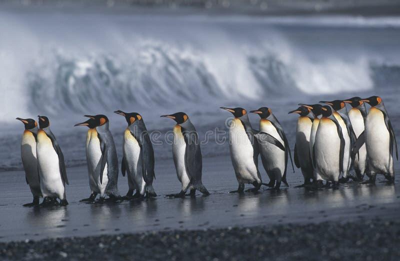 BRITISCHE Süd-Georgia Island-Kolonie von König Penguins marschierend auf Seitenansicht des Strandes lizenzfreie stockfotografie