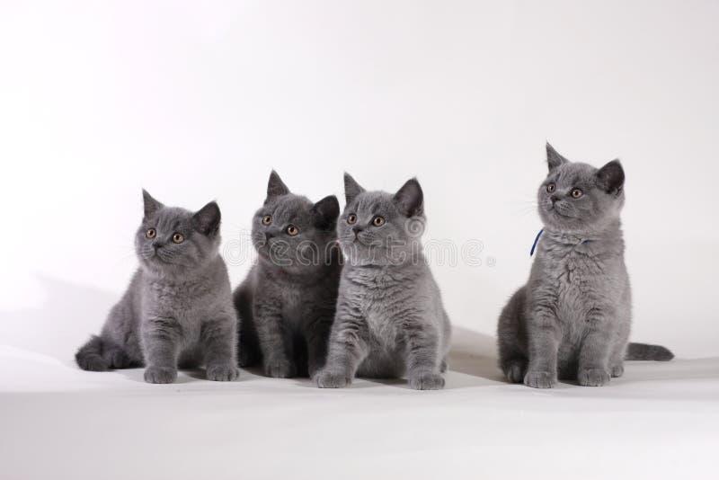Britische Shorthair Kätzchen lizenzfreie stockbilder